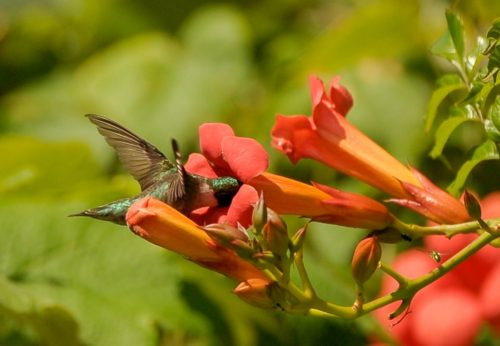 aesculus-ruby-throated-hummingbird-1