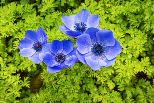 blue anemone coronaria flowers in full bloom