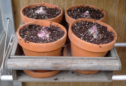 hyacinths_in_pots2_20-10-2013