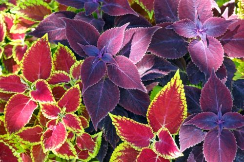 Red coleus and purple plant closeup (nature background)