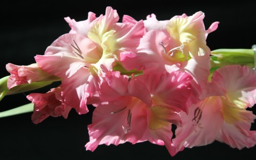 Nature___Flowers_Beautiful_gladiolus_in_the_sun_066757_