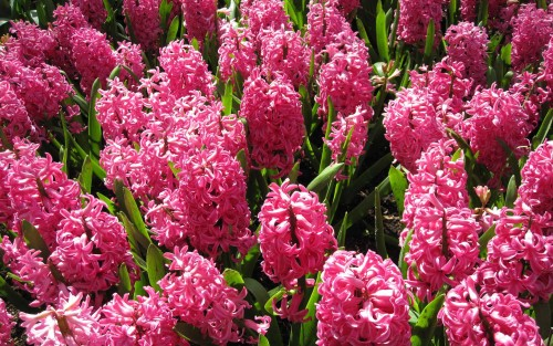 Nature___Flowers_Beautiful_pink_hyacinths_on_a_glade_065861_