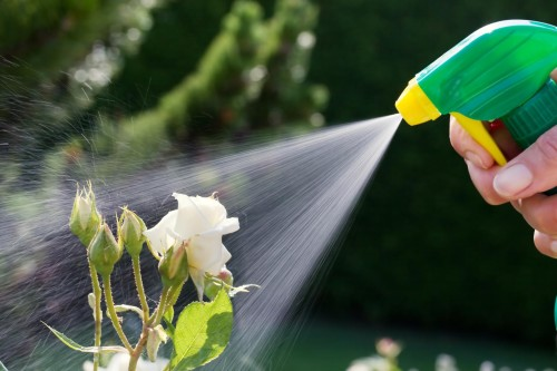 roses in a garden are sprayed with a pesticide.